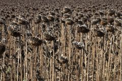 Field of sunflowers. After harvesting on the sun royalty free stock images