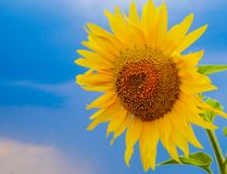 Field of sunflowers vector illustration