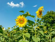 Field with sunflowers. On a sunny day Stock Photography