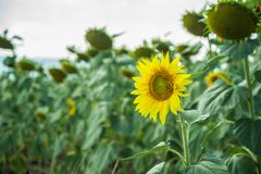 Field with sunflowers Royalty Free Stock Image
