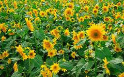 A field of sunflowers Stock Images