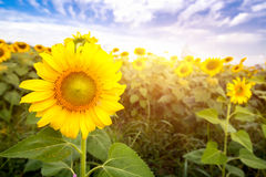 Field sunflowers with flare light daytime morning. Royalty Free Stock Photography