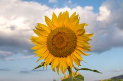 Field of sunflowers. Sunflowers flowers. Landscape from a sunflower farm. royalty free stock photo