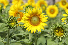 Field of sunflowers. Focus on chosen one Royalty Free Stock Photography