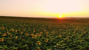 Field of sunflowers on foggy day. Blooming sunflowers meadow in haze. Summer landscape. Agriculture and farm background. Countryside concept stock footage