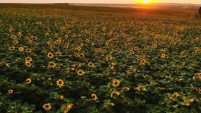 Field of sunflowers on foggy day. Blooming sunflowers meadow in haze. Summer landscape. Agriculture and farm background. Countryside concept stock video footage