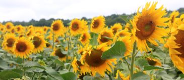 A field of sunflowers in France Royalty Free Stock Photography