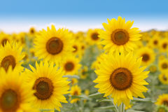 Field of sunflowers in front of blue sky Royalty Free Stock Images