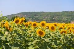 Field Sunflowers Stock Photo