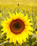 Field of sunflowers. Field of glowing yellow sunflowers with selective focus on one large perfect specimen closeup and background blurred Royalty Free Stock Photos