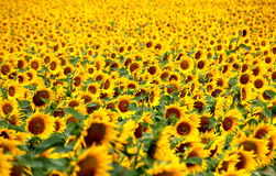 A field of sunflowers. A great field of yellow sunflowers Royalty Free Stock Photos