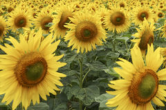 Field of Sunflowers half way through lifecycle. Horizontal royalty free stock photography