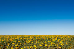Field of sunflowers, high horizon and the background out of focus Royalty Free Stock Image