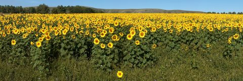 Field of sunflowers with horizont stock image