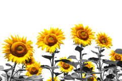 Field of sunflowers isolated Stock Photo