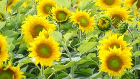 Field with sunflowers stock footage