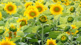 Field with sunflowers stock video