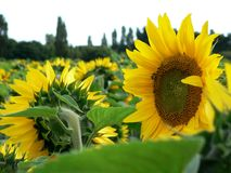 Field of Sunflowers.l Royalty Free Stock Images