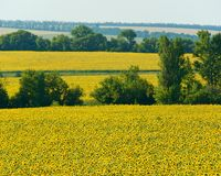 a field of sunflowers Royalty Free Stock Image