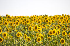A field of sunflowers landscape. A field of blooming sunflowers on a sunny day. The sky is clear and with a neutral white color Stock Photo