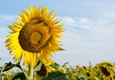 Field of sunflowers with a large flower and blue sky. With clouds stock photography