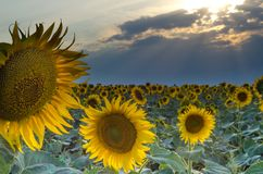 Field of sunflowers with a large flower and sun rays at sunset. Field of sunflowers with a large flower and sun rays in clouds royalty free stock image