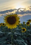 Field of sunflowers with a large flower and sun rays at sunset. Field of sunflowers with a large flower and sun rays in clouds royalty free stock photography