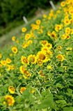 Field of Sunflowers in Lexington, South Carolina Royalty Free Stock Image