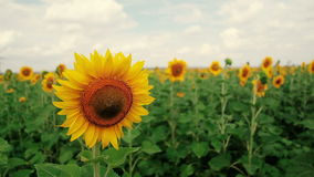 A field of sunflowers. A light breeze. One beautiful flower In the foreground, in the focus. Flower head of the. A field of sunflowers. A light breeze. One stock video