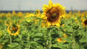 A field of sunflowers. A light breeze. One beautiful flower In the foreground, in the focus. Flower head of the. A field of sunflowers. A light breeze. One stock video footage