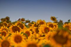 Field of sunflowers with little bird Stock Photo