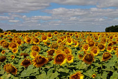 Field Of Sunflowers. Field of sunflowers, loire valley, France Royalty Free Stock Photo