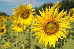 Field of sunflowers. Field of many sunflowers outdoor Stock Photos