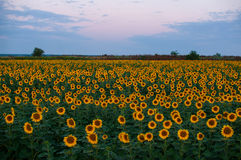 Field of sunflowers. At the moment of sunrise Royalty Free Stock Photos