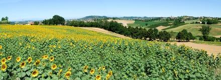 Field of sunflowers of Monterrato on Piedmont Royalty Free Stock Image