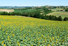 Field of sunflowers of Monterrato on Piedmont Royalty Free Stock Photography