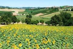 Field of sunflowers of Monterrato on Piedmont Royalty Free Stock Photo