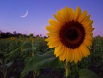Sunflower and the moon at dusk Royalty Free Stock Images