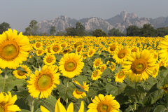 Field of sunflowers with mountains Stock Photography