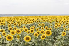 Field of sunflowers muted colors. Blooming sunflowers meadow. Summer landscape. Agriculture and farm background. Countryside concept stock image