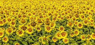 Sunflowers in Umbria Royalty Free Stock Photography