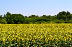 A field of sunflowers. Royalty Free Stock Photos