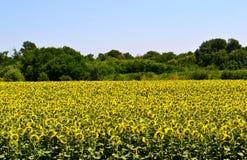 A field of sunflowers. A field of sunflowers near the forest belt. Aksayskiy district, Rostov region.  Photo taken on: July 13 Wednesday, 2016 Royalty Free Stock Photos