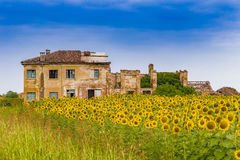 Field of sunflowers near a ruined country house Royalty Free Stock Photo