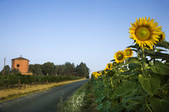 Field of Sunflowers Next to Road Royalty Free Stock Photography