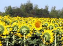 Field of sunflowers, one flower is turned in the opposite direct Royalty Free Stock Photos