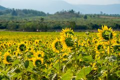 Field of sunflowers in Pak Chong district,Nakhon Ratchasima Province,northeastern Thailand. Sunflower, plant of the genus Helianthus of the family Asteraceae Stock Photos