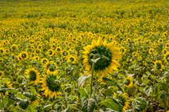 Field of sunflowers in Pak Chong district,Nakhon Ratchasima Province,northeastern Thailand. Sunflower, plant of the genus Helianthus of the family Asteraceae Stock Photography