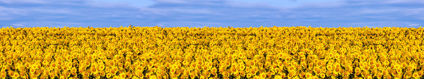Field of sunflowers panorama Royalty Free Stock Images