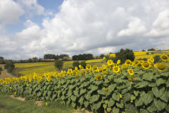Field of sunflowers, Perugia countryside - Italy Stock Images
